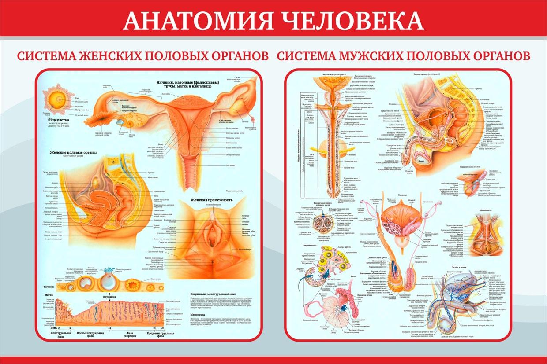 Подробное описание женских половых органов